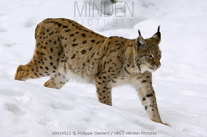 Eurasian Lynx (Lynx lynx) walking downhill on snowy slope, captive, Bavarian Forest, Germany  -  Philippe Clement/ npl