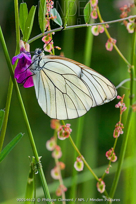 Black-veined White (Aporia crataegi), La Brenne, France  -  Philippe Clement/ npl
