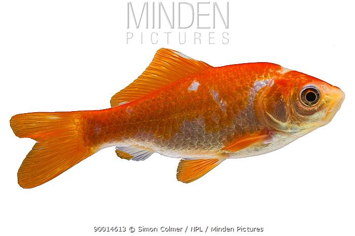 Goldfish (Carassius auratus)  -  Simon Colmer/ npl