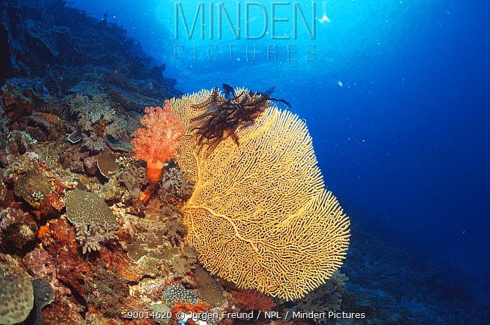Soft Coral (Subergorgia mollis) with Feather star attached, Philippines  -  Jurgen Freund/ npl