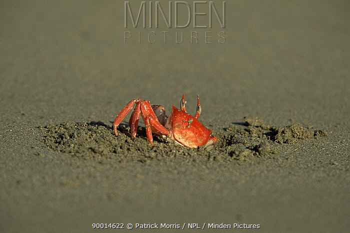 Ghost crab (Ocypode sp) emerging from hole in sand, Isabela Is, Galapagos  -  Patrick Morris/ npl