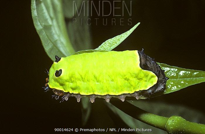 Cup Moth (Limacodidae), caterpillar larva with stinging hairs, in rainforest, Trinidad  -  Premaphotos/ npl