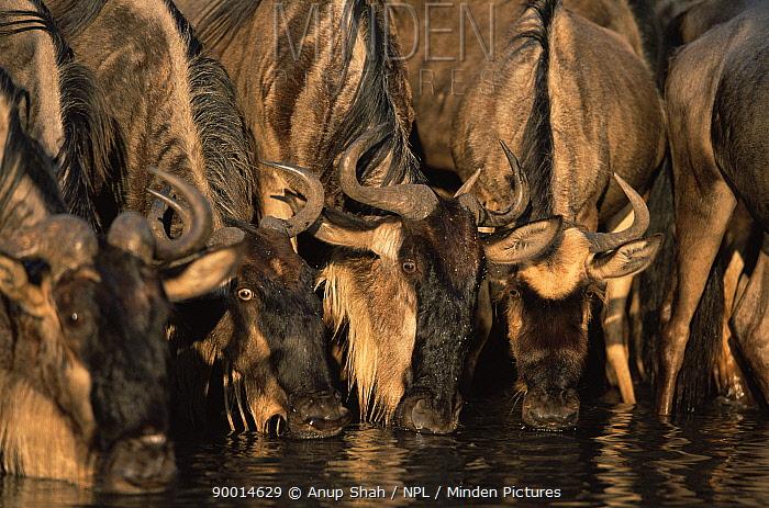 Blue Wildebeest (Connochaetes taurinus) drinking, Serengeti National Park, Tanzania  -  Anup Shah/ npl