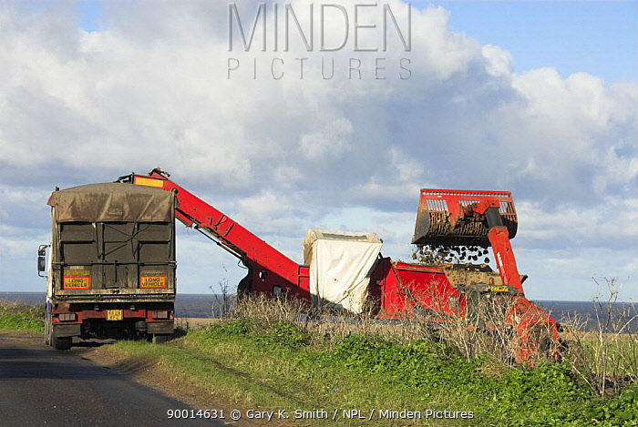 Loading up Sugarbeet into lorry on coastal road, North Norfolk, UK  -  Gary K. Smith/ npl