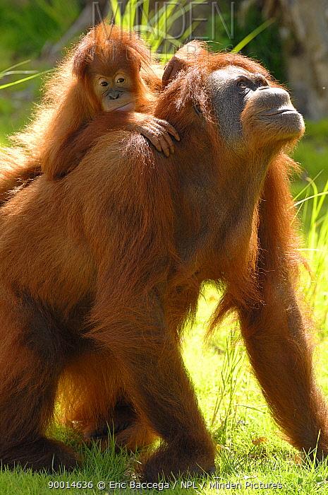 Orangutan (Pongo pygmaeus) female with her baby on her back Captive  -  Eric Baccega/ npl