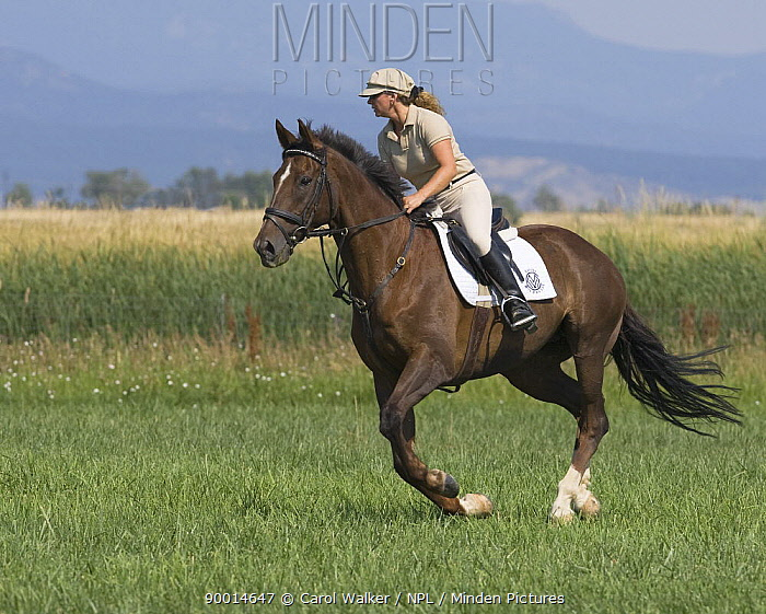 Woman cantering chestnut thoroughbred gelding, Longmont, Colorado, USA, model released  -  Carol Walker/ npl