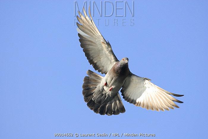 Rock Dove (Columba livia) in flight, London, United Kingdom  -  Laurent Geslin/ npl