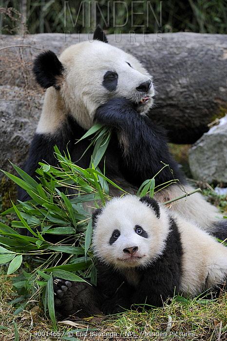 Giant Panda (Ailuropoda melanoleuca) mother feeding on bamboo and baby, Wolong Nature Reserve, China,  -  Eric Baccega/ npl