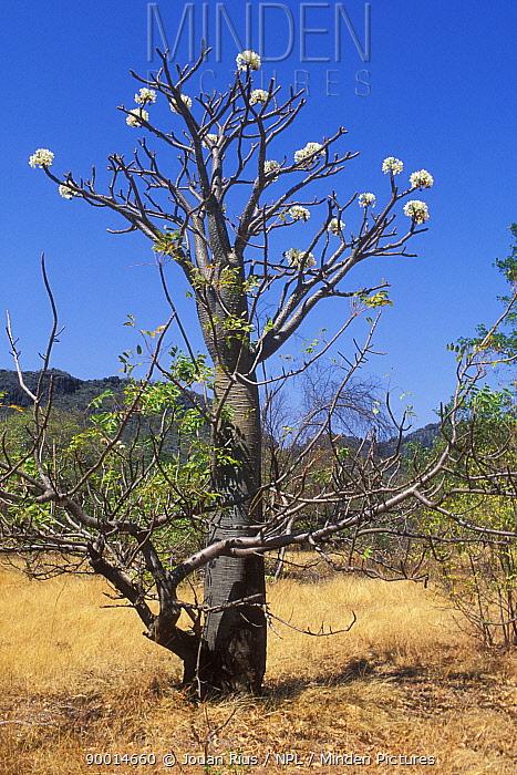 Elephants foot tree (Pachypodium) blooming, Ankarana Special Reserve, Madagascar  -  Jouan & Rius/ npl