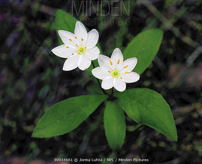 Chickweed Wintergreen (Trientalis europaea) Finland  -  Jorma Luhta/ npl