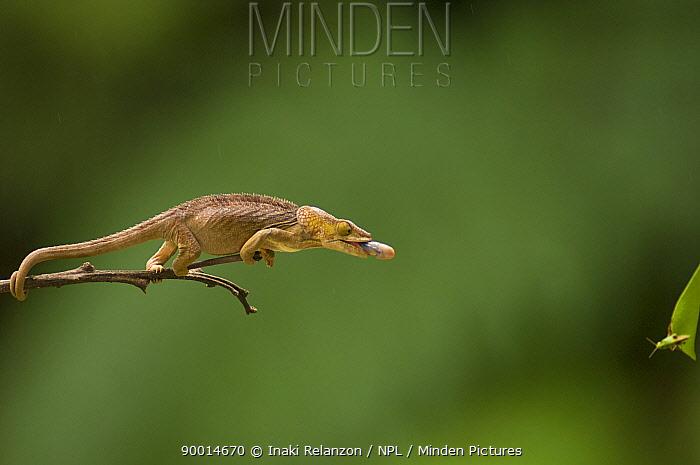 Short-horned Chameleon (Calumma brevicornis) extedning tongue to catch prey, Andasibe-Mantadia National Park, Madagascar, Sequence 1, 2  -  Inaki Relanzon/ npl