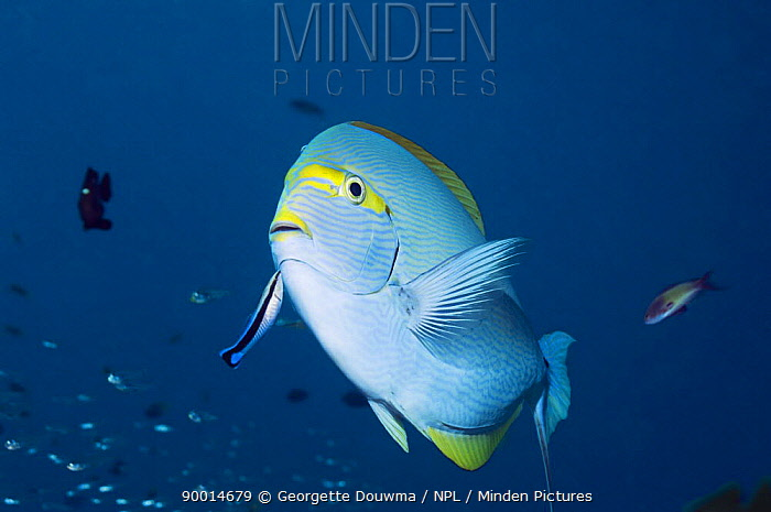 Elongate Surgeonfish (Acanthurus mata) at cleaning station with a Blue-streaked Cleaner Wrasse (Labroides dimidiatus), Andaman Sea, Thailand  -  Georgette Douwma/ npl