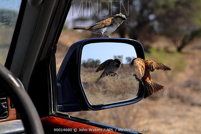 Rufous Sparrow (Passer motitensis) male attacking his reflection in car wing mirror, female looks on, Northern Cape, South Africa, 2007  -  John Waters/ npl
