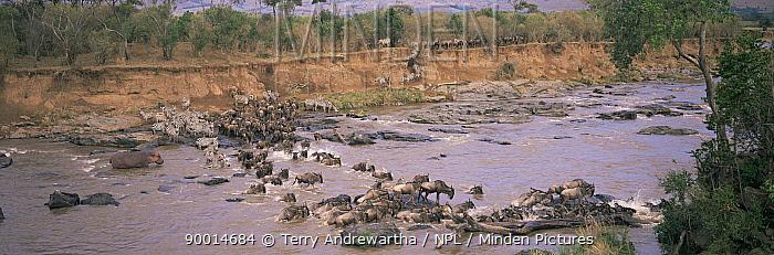 Blue Wildebeest (Connochaetes taurinus) and Zebra (Equus burchelli) crossing the Mara River, Kenya  -  Terry Andrewartha/ npl
