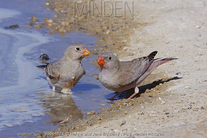Trumpeter Finch (Rhodopechys githaginea) pair at water's edge, Tudhu, Oman  -  Hanne & Jens Eriksen/ npl