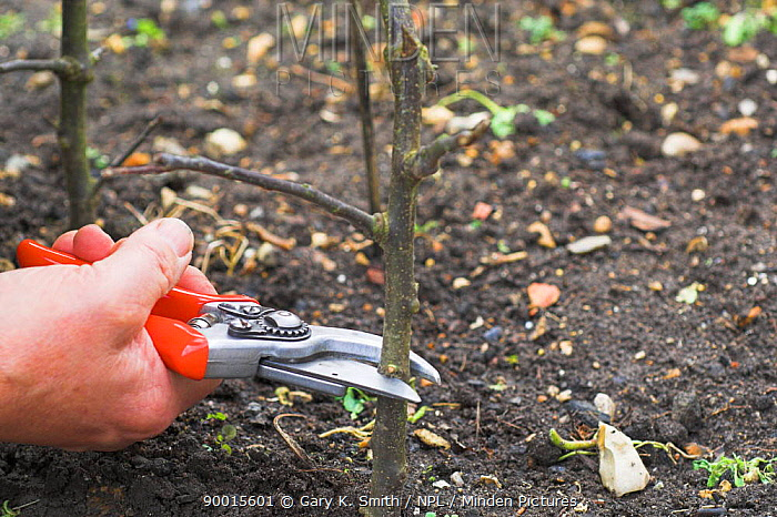 Apple (Malus communis) tree grafting, Northern Norfolk, United Kingdom Sequence 1, 8  -  Gary K. Smith/ npl
