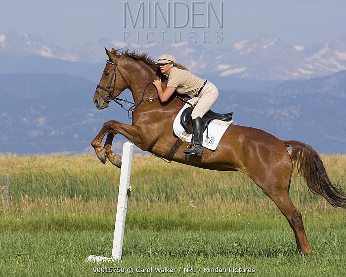 Woman jumping Dutch Warmblood mare, Longmont, Colorado, USA, model released  -  Carol Walker/ npl