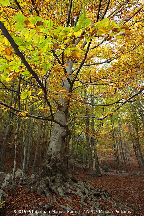 Beech (Fagus sp)in Montseny Natural Park, Barcelona, Spain  -  Juan Manuel Borrero/ npl