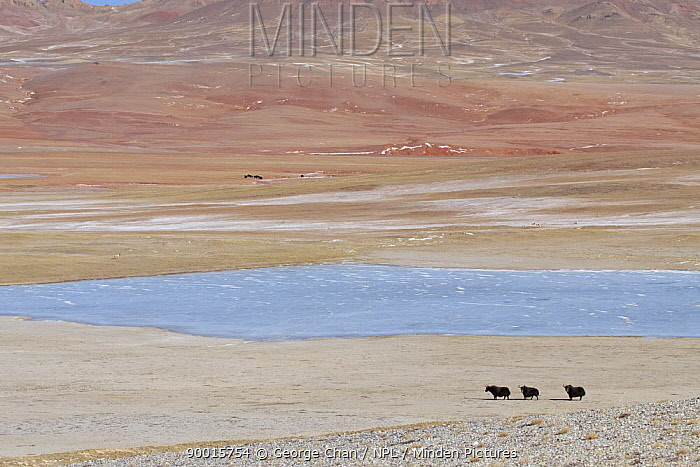 Yak (Bos grunniens) beside a lake in the Chang Tang Nature Reserve of central Tibet  -  George Chan/ npl