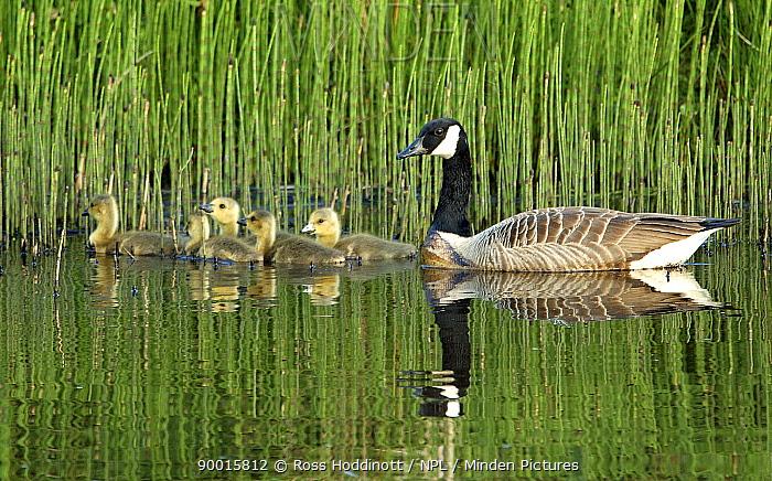 Canada Goose (Branta canadensis) with goslings on water, Devon, United Kingdom  -  Ross Hoddinott/ npl