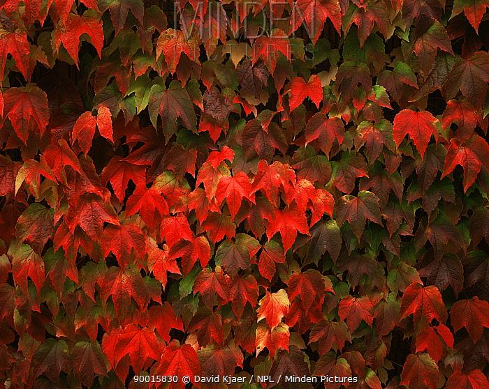 Virginia creeeper (Parthenocissus sp) 'Beverley Brook' in late autumn, UK, sequence 2, 2  -  David Kjaer/ npl