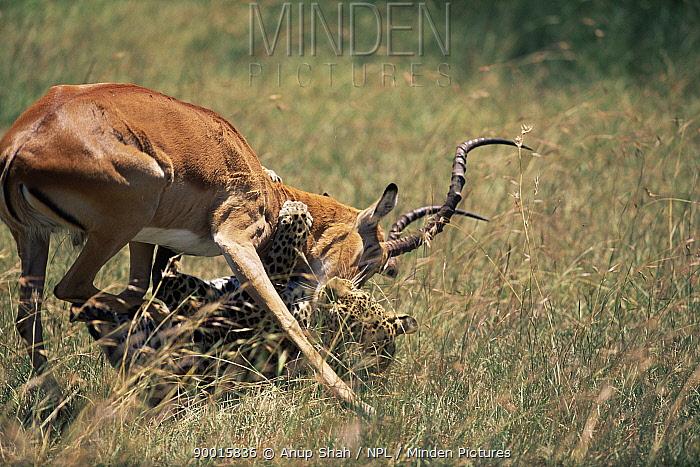 Leopard (Panthera pardus) brings down male Impala (Aepyceros melampus) Masai mara GR, Kenya  -  Anup Shah/ npl