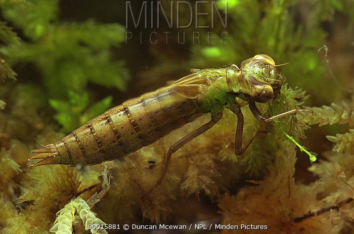 Sedge Darner (Aeshna juncea) Scotland  -  Duncan McEwan/ npl