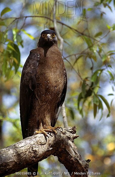 Crested Serpent-Eagle (Spilornis cheela), Bandhavgarh National Park, Madhya Pradesh, India  -  E.A. Kuttapan/ npl