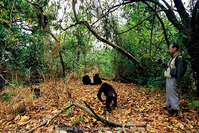 Eastern Chimpanzee (Pan troglodytes schweinfurthii) with tourist watching, Mahale National Park, Tanzania  -  Anup Shah/ npl