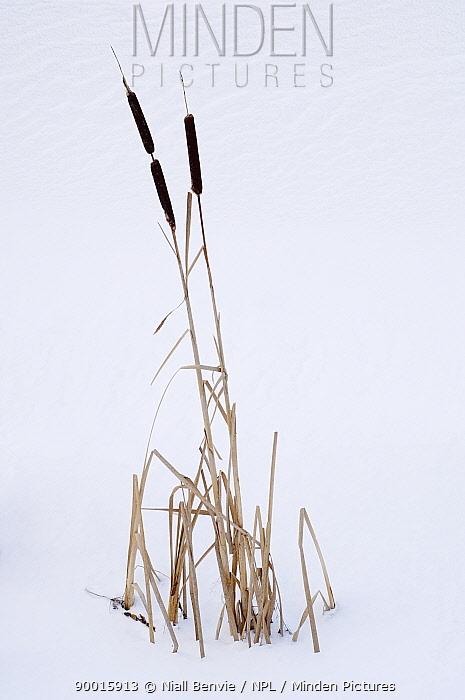 Common Cattail (Typha latifolia) in winter snowy landscape, Estonia  -  Niall Benvie/ npl