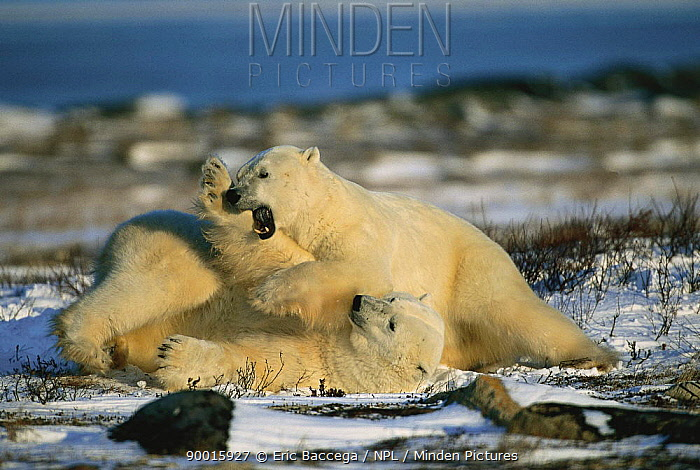 Polar Bear (Ursus maritimus) two play fighting, Churchill, Manitoba, Canada  -  Eric Baccega/ npl
