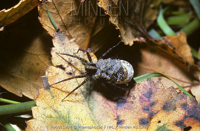 Spotted wolf spider (Pardosa amentata) female with her babies climbing onto her back as they hatch from the egg-sac she is carrying attached to her spinnerets, UK  -  Premaphotos/ npl