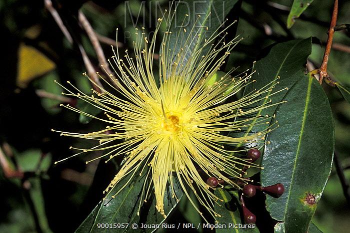 Tropical flower, Madagascar  -  Jouan & Rius/ npl