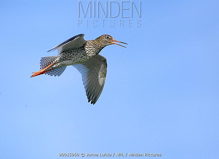 Common Redshank (Tringa totanus) calling in flight, Finland  -  Jorma Luhta/ npl