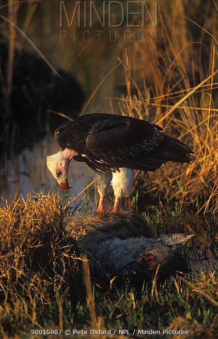 White-headed Vulture (Trigonoceps occipitalis) on hyaena Okavango Delta, Botswana  -  Pete Oxford/ npl