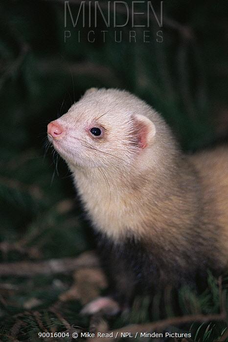 Domestic ferret (Mustela putorius furo) portrait New Forest, UK  -  Mike Read/ npl