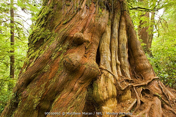 Trunk of Western 'Grandma' Red Cedar tree (Thuja plicata) over 800 years old, The Big Tree Trail, Meares Island, Clayoquot Sound, Vancouver Island, BC, Canada  -  Matthew Maran/ npl