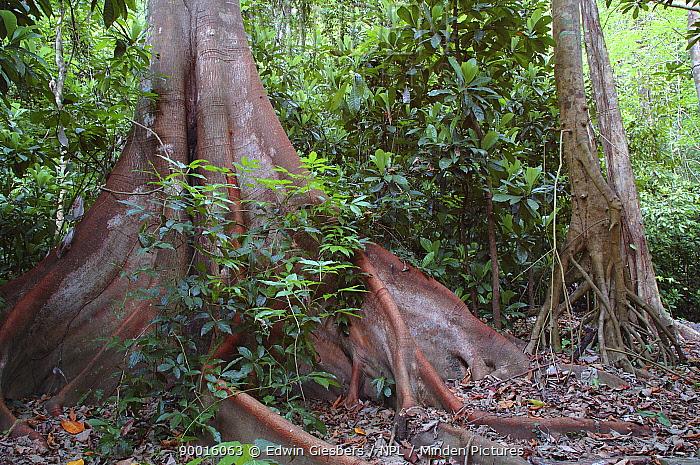 Large buttress roots in rainforest, Costa Rica  -  Edwin Giesbers/ npl
