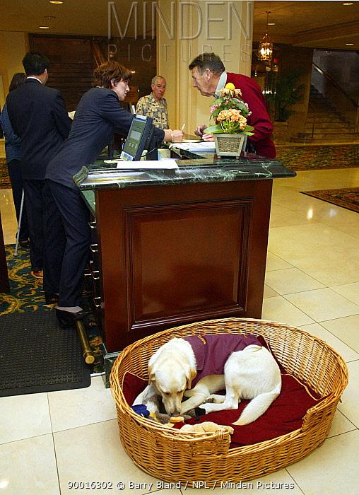 Mavis, the Fairmont Hotel's resident dog Vancouver, Canada  -  Barry Bland/ npl