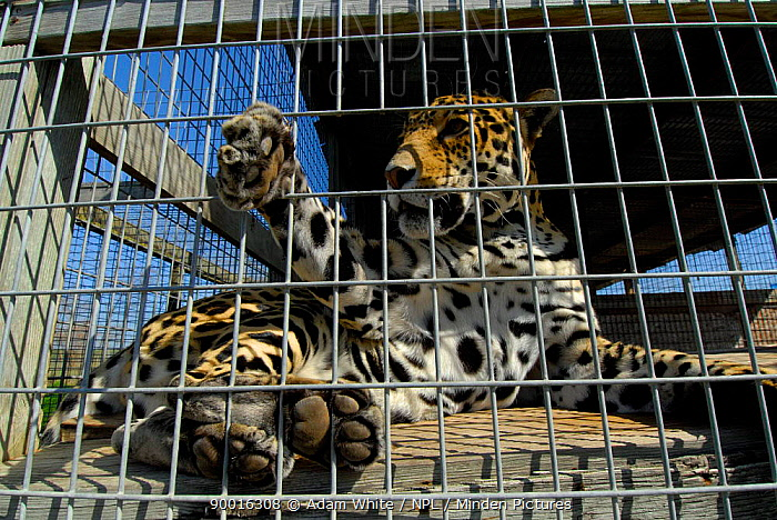 Jaguar (Panthera onca) captive female with foot through bar  -  Adam White/ npl