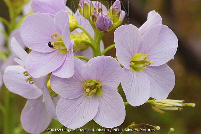 Cuckoo Flower (Cardamine pratensis), United Kingdom  -  Michael Hutchinson/ npl