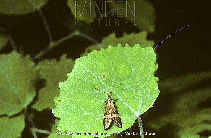 Long-horned Micro Moth (Nemophora degeerella) on leaf in woodland, United Kingdom  -  Premaphotos/ npl