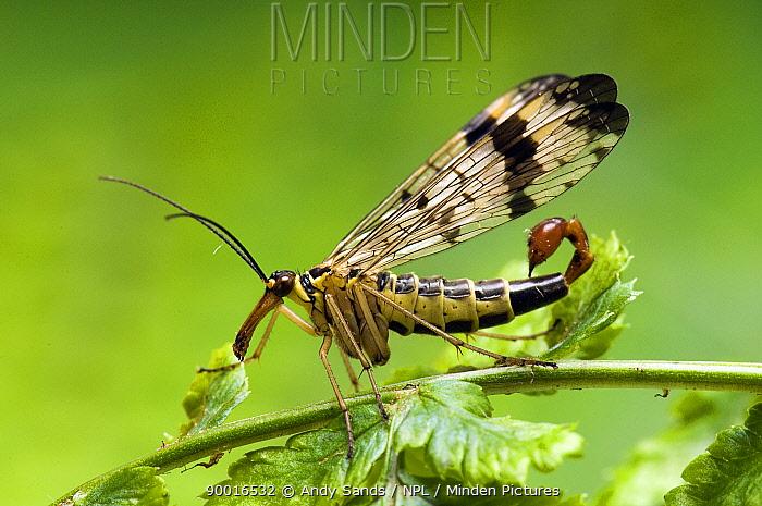 Common Scorpion Fly (Panorpa communis) Portrait United Kingdom  -  Andy Sands/ npl