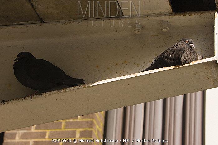 Rock Dove (Columba livia) roosting on iron girders under balcony, Bristol, United Kingdom  -  Michael Hutchinson/ npl