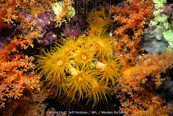 Tube Corals (Tubastrea diaphana) with polyps extended and feeding at night Eygpt, Red Sea  -  Jeff Rotman/ npl