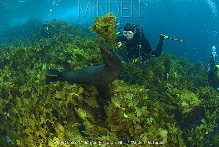 New Zealand Fur Seal (Arctocephalus forsteri) with diver amongst kelp, Albany, Western Australia  -  Jurgen Freund/ npl