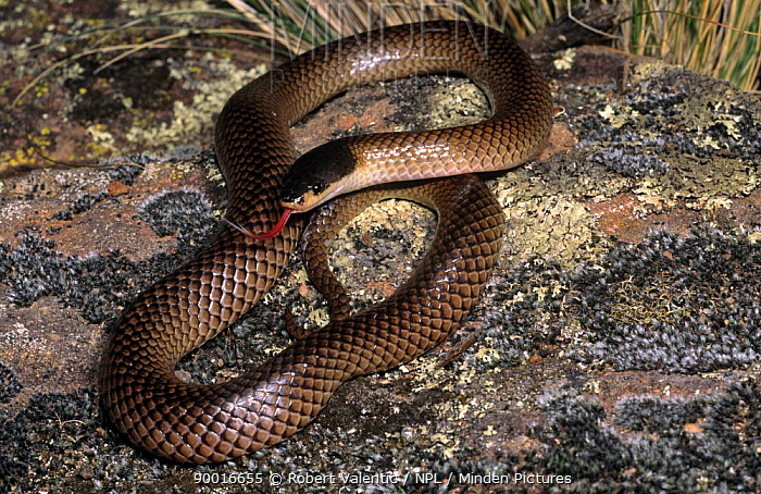 Dwyer's snake (Parasuta dwyeri) female coiled defensively with tongue flickering, New South Wales, Australia  -  Robert Valentic/ npl