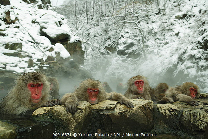 Japanese Macaque (Macaca fuscata) group of monkeys bathing in hot springs, water at 40 degrees, Jigokudani, Nagano, Japan  -  Yukihiro Fukuda/ npl