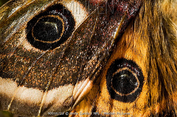 Emporer Moth male (Saturnia pavonia) close up of eye spots wing detail, captive, UK  -  Andy Sands/ npl