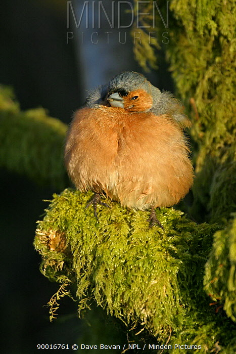 Chaffinch (Fringilla coelebs) male sunbathing with feathers fluffed up in early morning light, Wales, United Kingdom  -  Dave Bevan/ npl
